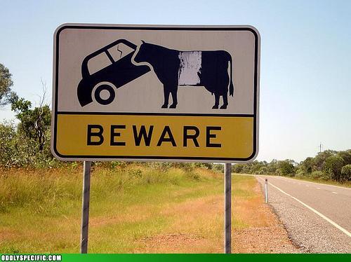 Of Car Eating Bovine?